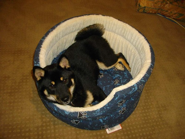 9_may_2010_shiba_in_bed