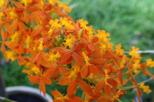 Orange_angel_orchid