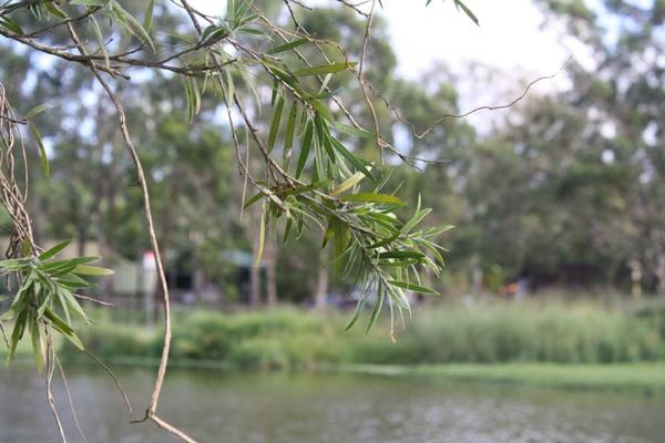 Lake_tree